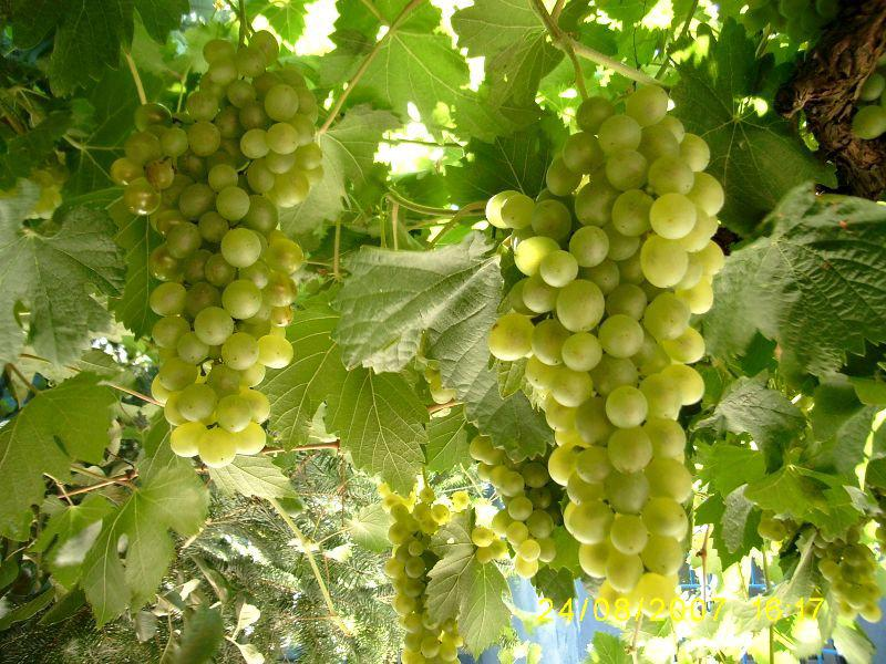 Beyaz üzüm